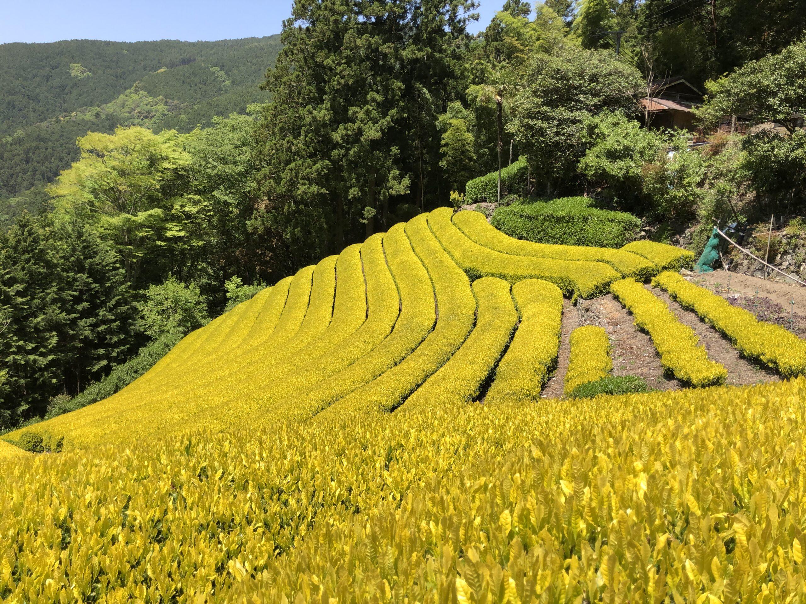 黄金の茶畑